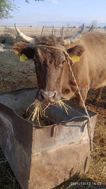 76 объявлений | ЖИВОТНЫЕ: Продаю | Корова (самка) | Алатауская | Для разведения, Для молока | Стельные
