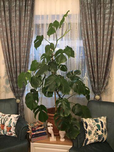 monstera bitkisi - Azərbaycan: Hündürlüyü 2.00 metr.Bu gözəl Monstera bitkilərindən