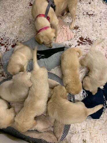 Για ζώα - Καματερó: Golden Retriever PuppiesGolden Retriever puppies available for any