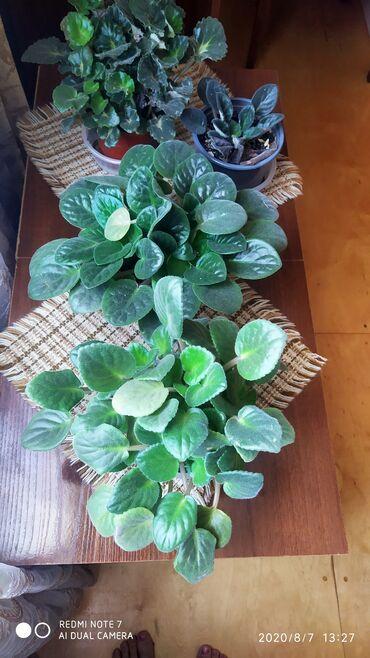 Otaq bitkiləri Sumqayıtda: Fialkalar,her biri 10 azn.Ag,bənovsəyiaçiq ve tund cəhrayi rənglər