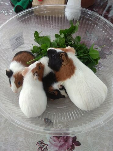 Срочно продаем Морских свинок всего по 100 сом осталось всего 5 шт 2