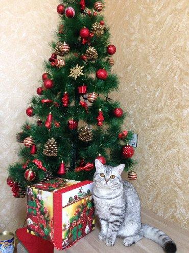 шотландская прямоухая в Азербайджан: Шотландский кот Барсик ждет невесту для вязки