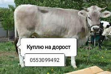 платье в клетку с белым воротником в Кыргызстан: Куплю для себя на ДОРОСТКОРОВ дойных и стельныхБычков и телок любого