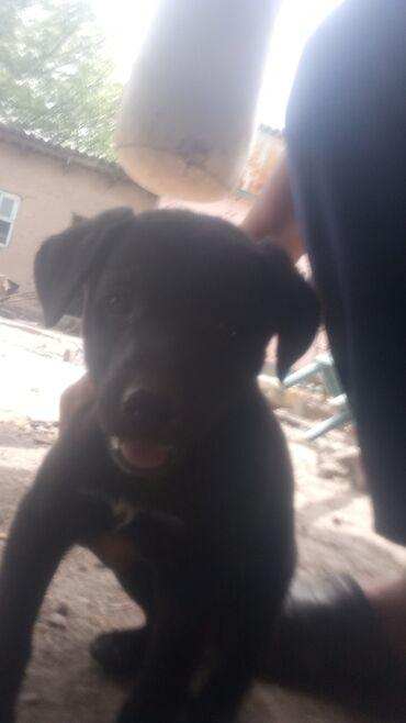 Продаю щенка питбулья девочка 1 мецесев цена 2000 реальнуму клиенту