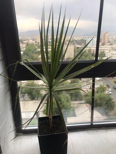 Драцена.  5 летнее растение высотой около 90 см. Высота вместе с горшк
