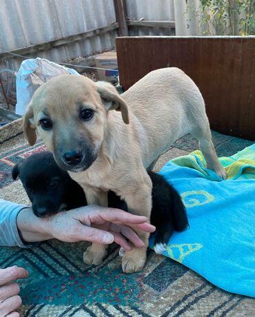 Собаки - Кыргызстан: Фонд помощи животным Добрые руки, ищет добрые руки для щеночка, девочк