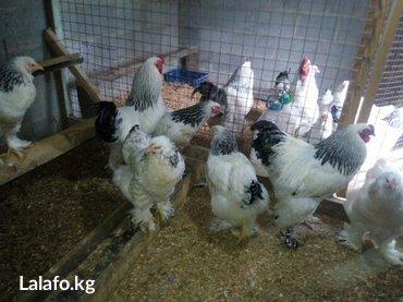 яйцо кохинхина, брамы. продаю инкубацыонное яйцо следующих пород: брам в Лебединовка - фото 5