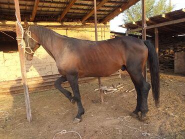 4 объявлений | ЖИВОТНЫЕ: Продаю | Конь (самец) | Полукровка, Английская | Для разведения, Конный спорт | Племенные