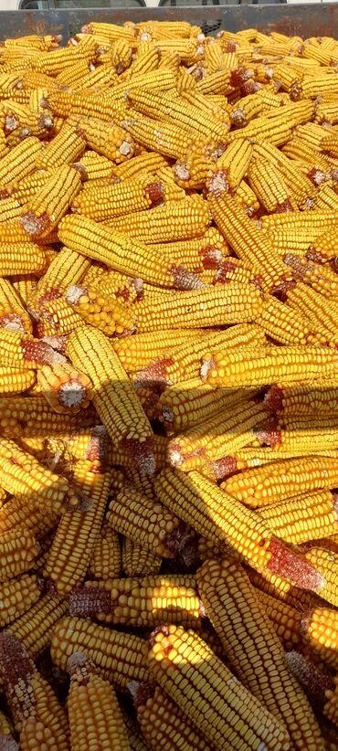 самсунг а 50 цена in Кыргызстан | SAMSUNG: Продаю кукурузу в початках, есть около 10 тонн. В с.Петровка. Возможно