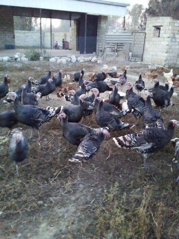 Животные - Агджабеди: Salam hindusqalar agcebededi zeng edib öyrene bilersiz xoruzdar 30azn