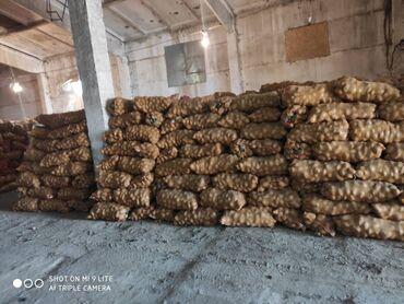 карта навигатор в Кыргызстан: Продаётся картофель, сорт «Джелли» в г. Каракол. В наличии имеется 60