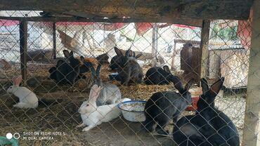 13 объявлений | ЖИВОТНЫЕ: Продаю | Кролик самец | Для разведения