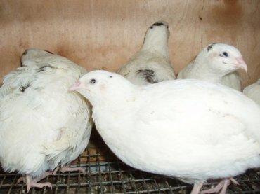 Продаю белых английских  перепелок (самки-несушки)  звоните:  радмир в Беловодское