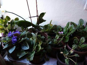 Kuća i bašta - Zajecar: Ljubicice,250 d.sadnica