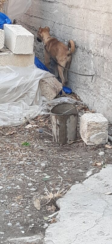 tebii sac qiymeti в Азербайджан: Temiz coban iti 4 ayliqdi isdeyen olsa satilir qiymeti razilasmaq yolu