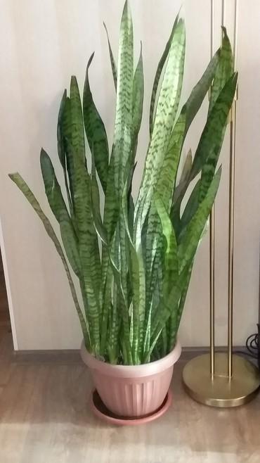 Комнатные растения в Кок-Ой: Цветок оболденный продаю недорого