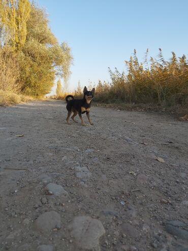 бивер йоркширский терьер в Кыргызстан: Кобель той терьер на вязку!!! С документами! Вес 2,2кг. Цена