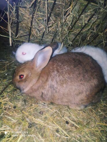 Heyvanlar - Azərbaycan: Salam . Kaliforniya və yerli sort dovşanlardı . Dovşanlar 4 ay yarımlı