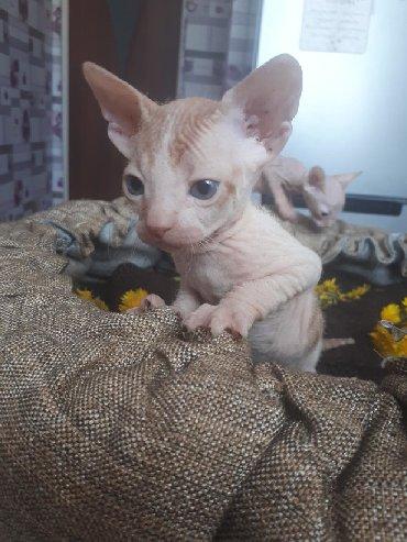 кошка сфинкс с шерстью в Кыргызстан: Котик сфинкс мальчик рождён 25.02, велюр брашь 3тс, по всем вопросам