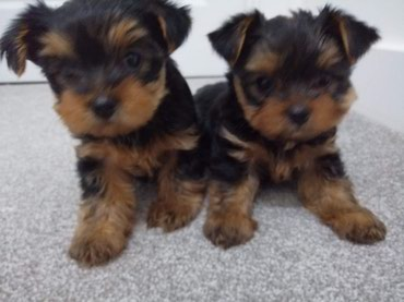 Yorkshire Terrier Puppies προς πώληση σε Chorio
