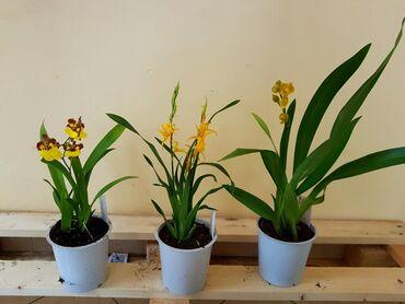 Orhideja - 950