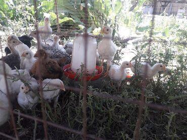 Животные - Селекционное: Куры, петухи