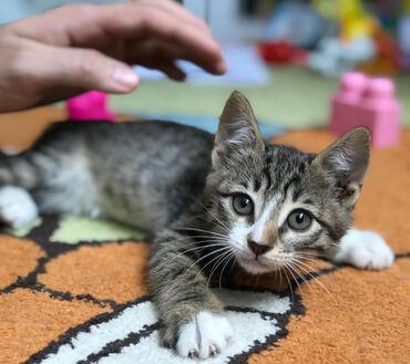 Домашний котенок, девочка, 1,5 месяца бесплатно в добрые руки