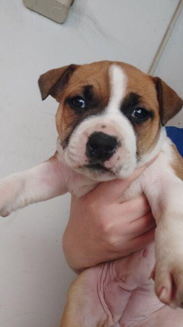 куплю йоркширского терьера в Кыргызстан: Продаем щенка американского стаффордширского терьера. Осталась только