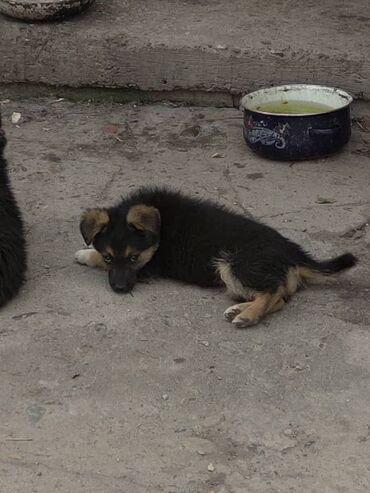 Собаки - Кыргызстан: Отдаём щенков в добрые руки . Бесплатно . Кушают абсолютно все. Помесь