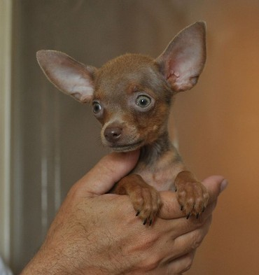 dog - Azərbaycan: Той терьер (Toy teryer) (Toy terrier)   Щенки питомника! Качество! Док