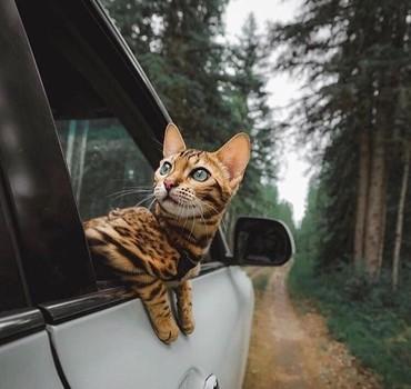 Коты - Кок-Ой: Бенглаусики есть свободные котятки все вопросы на воцап
