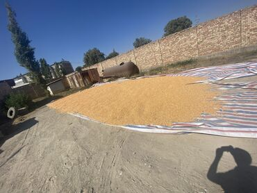 41 объявлений: Продаю кукурузу по 23 сом за 1 кг Кочкор-Ата  Всего 5т