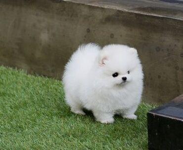 Για σκύλους - Αθήνα: Beautiful Color. These puppies are playful and healthy. Will