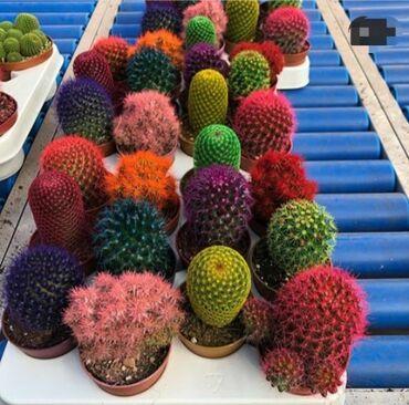 Kaktus - Azərbaycan: Kaktuslar canli