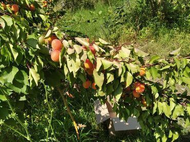 Земельные участки - Бишкек: Продам 5 соток Для сельского хозяйства от собственника