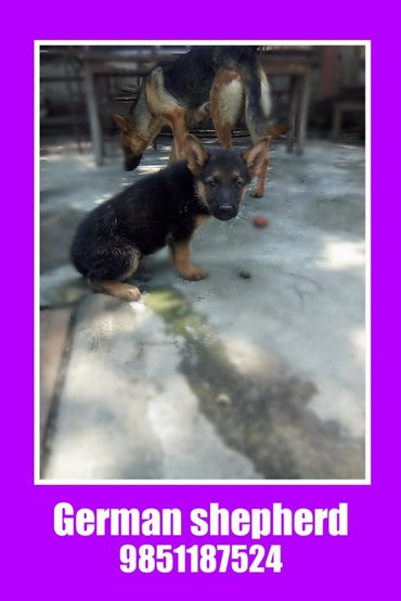 Well breed German shepherd puppies on sale. They are now 55 days and in Kathmandu