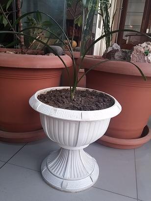 сансевиерия зеленая в Кыргызстан: Комнатное растение кливия из семейства амараллисовых с темно-зелеными