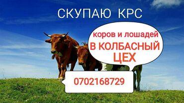 jelektriki na vyzov в Кыргызстан: Скупаю скот в колбасный цех в любом виде без посредников