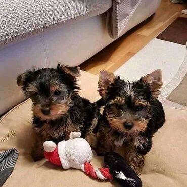 Φοβερά κουτάβια Yorkie Terrier όλα έτοιμαΕδώ είναι τα κουτάβια Cute