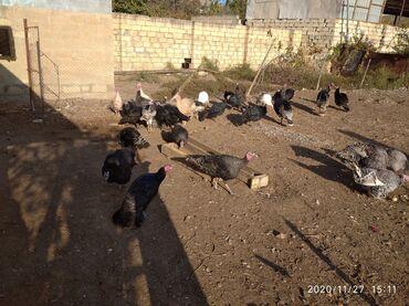 - Azərbaycan: Salam super hindusqalar satlir 27 disi 5 erkey ela kok heyvanlardir oz