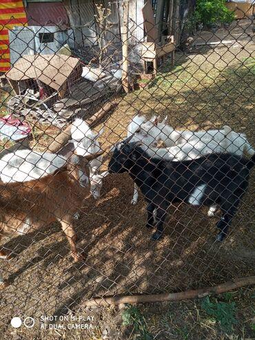 Животные - Полтавка: Продаю Козлов возраст 5,6 месяца 7 штук