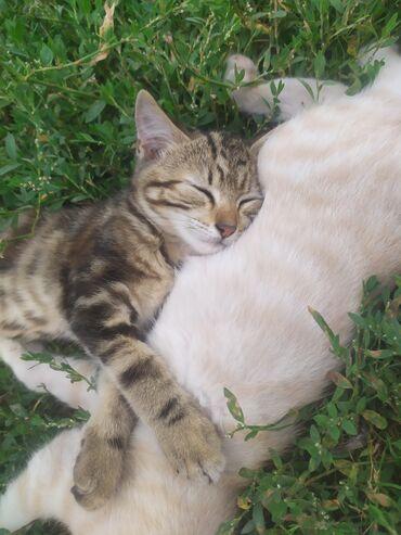 Находки, отдам даром - Бишкек: Отдадим в добрые руки двух котят, можно по одному, приучены