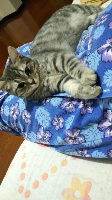 станок для сетка рабица в бишкеке в Кыргызстан: Продаю котенка британской породы 5мес.мальчик к лотку с сеткой