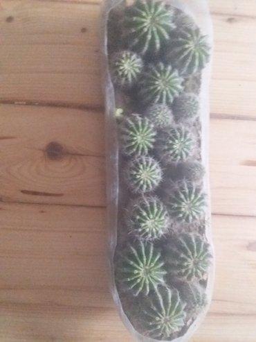 Bakı şəhərində Kaktus