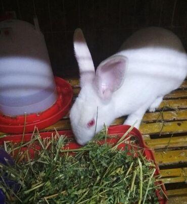 белая kia в Ак-Джол: Кролик белый 3м