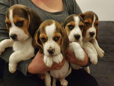 Διαθέσιμο αρσενικό και θηλυκό BeagleΠώληση κουτάβι Beagle. Αυτό το