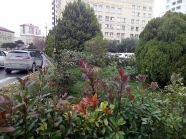 Bakı şəhərində Hercur aqaclarin ekilmesi ve suvarlma islerinin gorulmesi ve suvarma