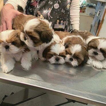 Shih tzu σκυλιά για αγορά σε καλή τιμήΈχουμε ένα όμορφο σκουπίδια