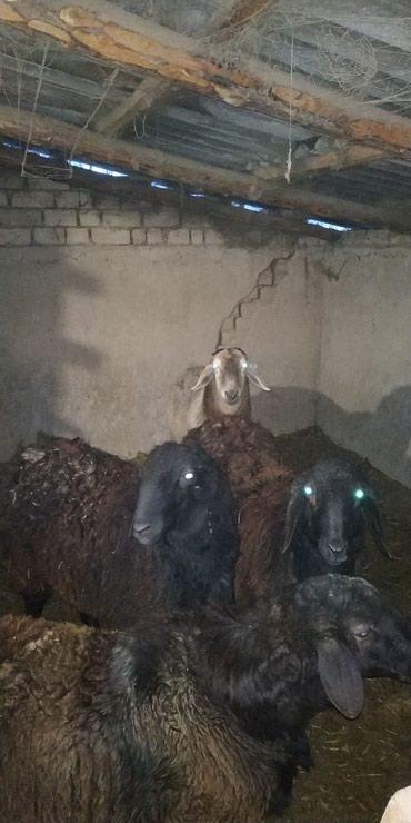 Продаю 10 месячных кочкориков два черных, один коричневый, на племя. в Каракол