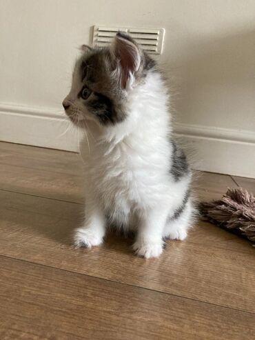Περσικά τσιντσιλά Stunnig Αξιολάτρευτο χνουδωτό περσικό γατάκι ηλικίας
